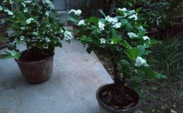 盆栽两年就开花结果的野山楂下山桩 图片