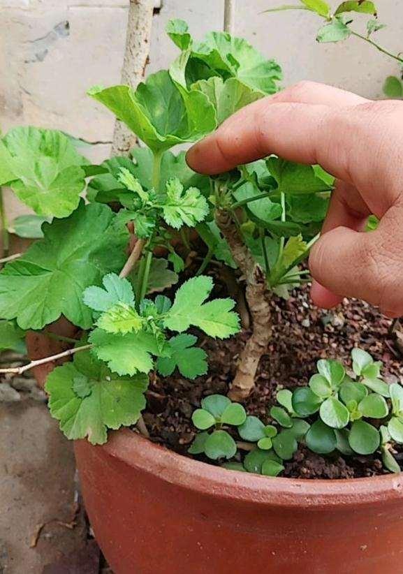 山楂下山桩做盆栽要怎么修剪