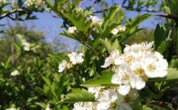 野山楂下山桩是大叶 还是小叶的 图片