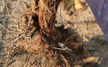 1棵柽柳朽木下山桩 大家看看可以吗