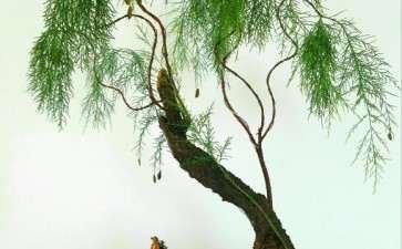 室内怎么养护柽柳盆景的方法 图片