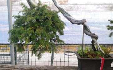特别喜欢的一棵杜松盆景 可以吗 图片