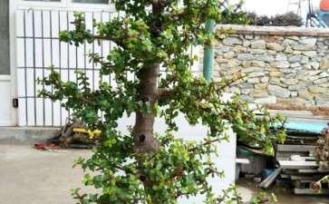 盆栽金枝玉叶下山桩 有几年了 可以吗