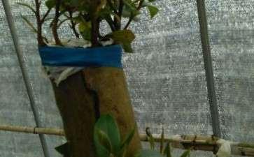 去年春栽茶花下山桩 还在萌芽 图片