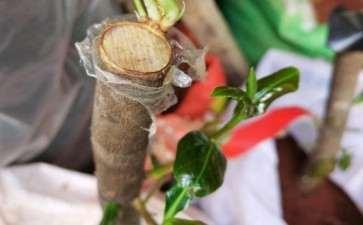 3月初栽的茶花下山桩 现已发芽 图片