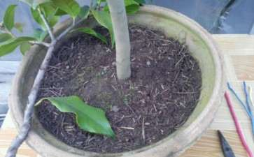 茶花下山桩怎么翻盆换土的方法 图片
