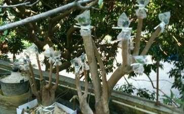 茶花下山桩嫁接 希望以后枝枝都能成活