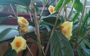 沈阳金茶花下山桩开了 顺晒其它花 图片