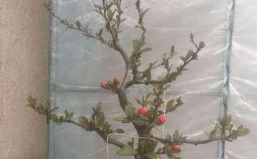 去年高压的一棵木瓜下山桩 图片