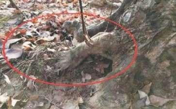 三角枫盆景怎么造型的3个技术 图片