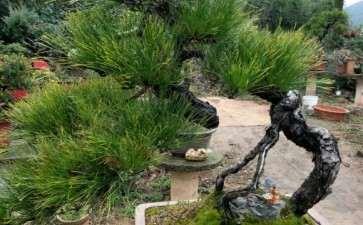 黄山松老桩盆景 可以吗 图片