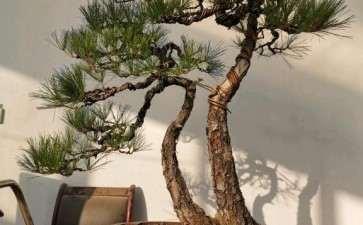 今天制作的一颗双干黄山松盆景 图片