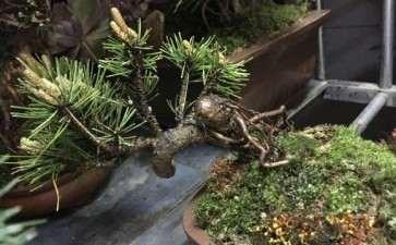 黄山松盆景 一天要浇水几次 图片