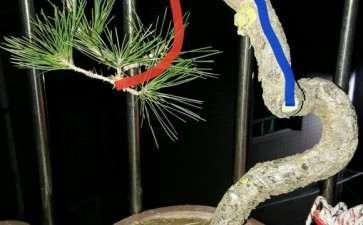 一棵黄山松盆景的修剪过程 图片