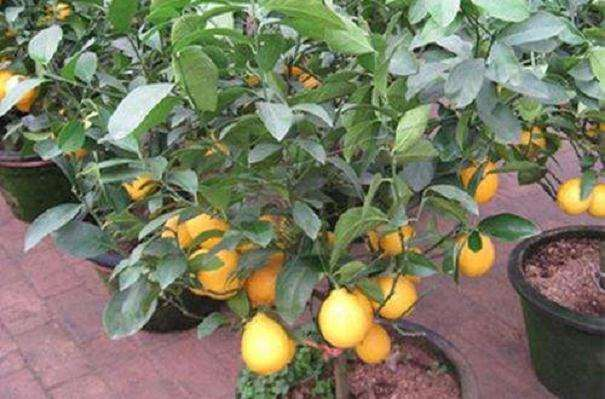 制作柠檬盆栽的4个品种选择