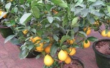 制作柠檬盆栽的4个品种选择 图片