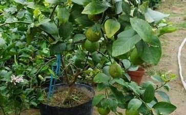 柠檬盆栽怎么选择花盆规格的2个方法