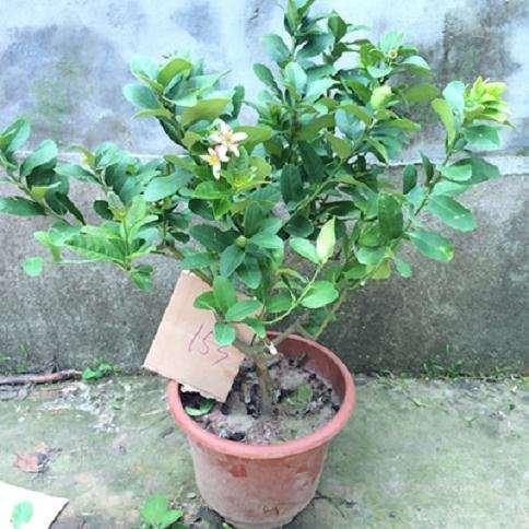 柠檬盆栽营养土怎么配置