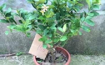 柠檬盆栽营养土怎么配置的2个方法