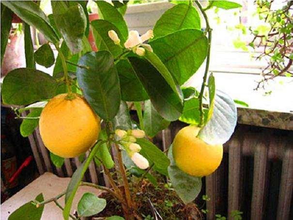 柠檬盆栽怎么浇水管理