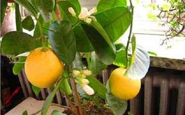 柠檬盆栽怎么浇水管理的5个方法
