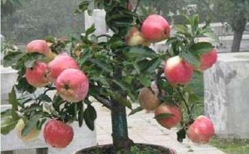 盆栽紫香苹果怎么整形修剪的3个方法