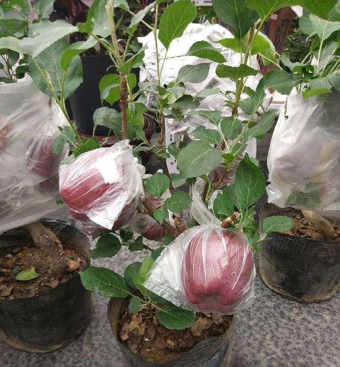 盆栽紫香苹果主要病虫害怎么防治的方法