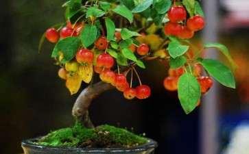 盆栽紫香苹果怎么越冬防寒的2个方法