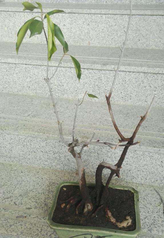 榕树下山桩的树枝都剪掉 可以重新发芽吗