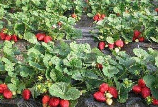 盆栽草莓家庭阳台怎么栽培4个技术
