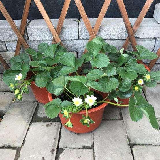 家庭阳台盆栽草莓栽后怎么管理