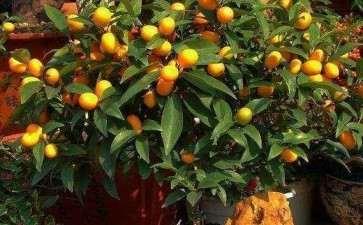 盆栽果树怎么利用矮化砧促花的2个方法