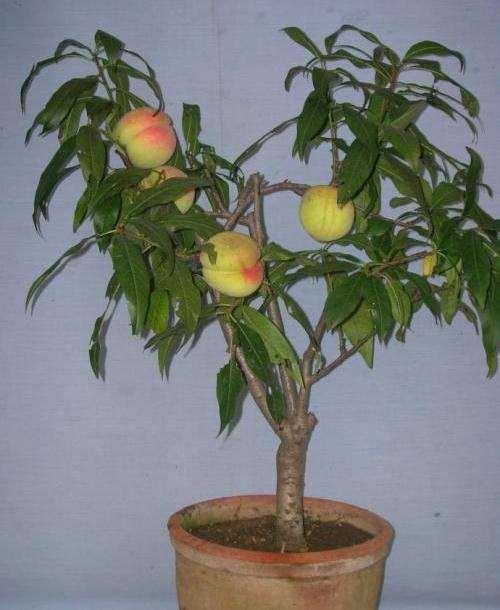 盆栽果树利用手术促花的方法