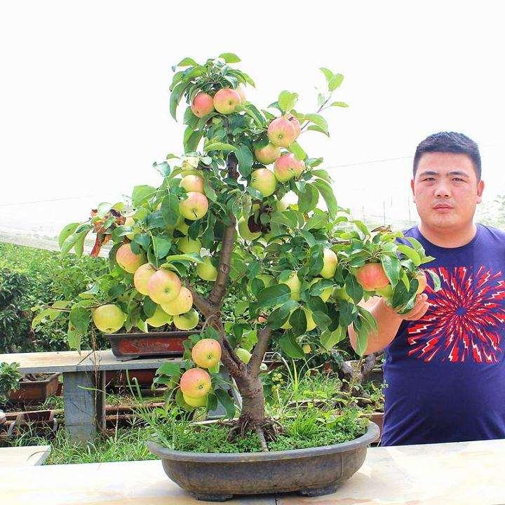 盆栽果树怎么控制旺长与徒长