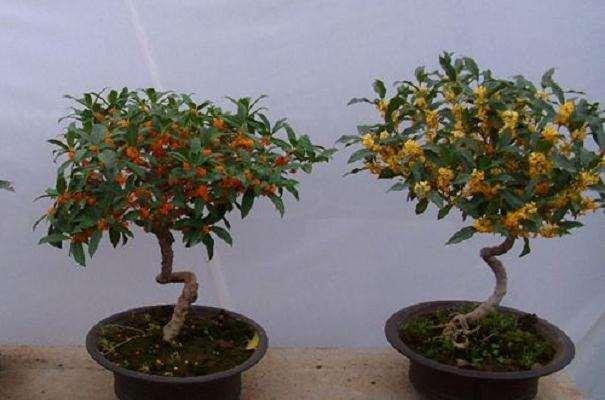 北京盆栽古桩桂花怎么修剪的2个原则