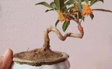 冬季桂花盆栽怎么修剪的3个要点