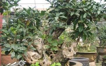夏季桂花盆栽怎么剪技术的3个要点