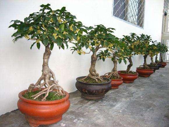 桂花盆栽修剪后怎么养护的3个管理