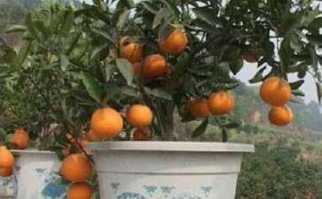 盆栽柑橘的品种和栽培盆怎么选择