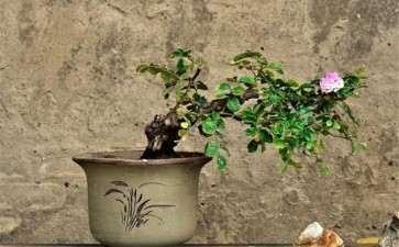 月季盆栽怎么扦插繁殖的方法