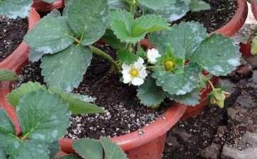 家庭盆栽草莓怎么管理的3个方法