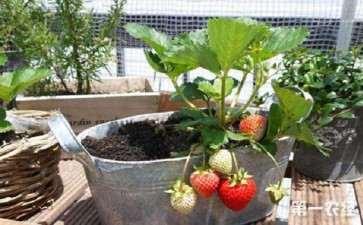 盆栽草莓怎么后期养护的3个方法