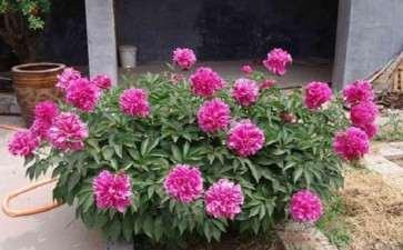 3种植物生长延缓剂对盆栽芍药的矮化效应