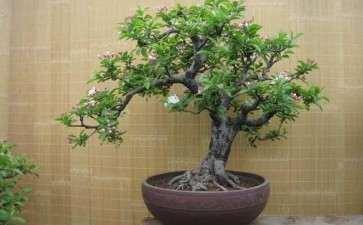 盆栽果树怎么栽培管理的技术