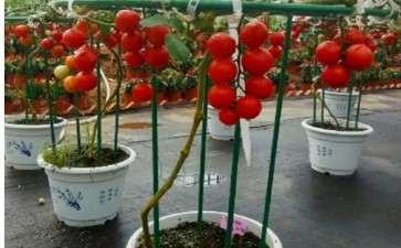 盆栽基质番茄架式怎么整型修剪的方法