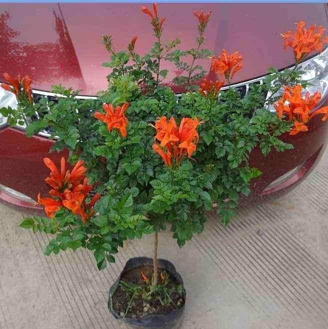 盆栽凌霄花怎么繁殖与栽培的方法