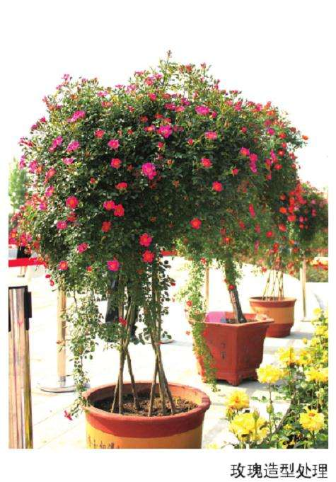 为什么盆栽玫瑰创新升级时代