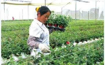 2017年 云南盆栽玫瑰年预计达3000万盆