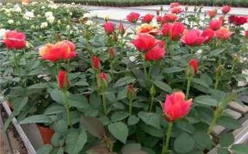盆栽密度对微型月季生长和观赏性状的影响