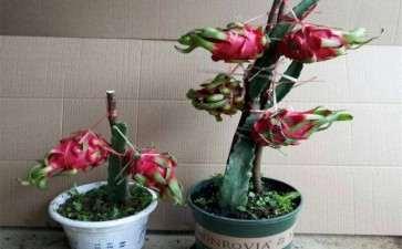 基质配比和缓释肥量对火龙果盆栽生长的影响